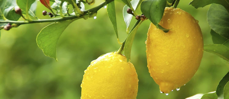 Cerchiamo di non fermarci, davvero, all'albero di limoni!